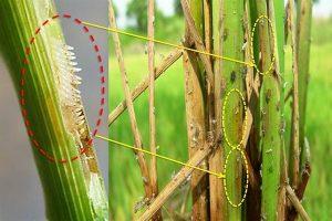Biện pháp phòng trừ rầy nâu hại lúa