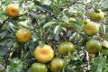 Bệnh vàng lá thối rễ ở cam quýt