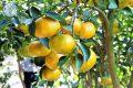 Kỹ thuật trồng quýt đường