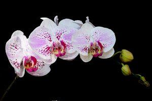Cách bón NPK cho hoa lan