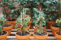 Chậu trồng cà chua leo giàn