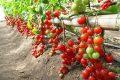 Nên trồng cà chua vào tháng mấy