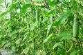 Cách trồng dưa leo