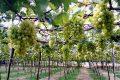Cách trồng nho Ninh Thuận
