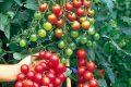 Đặc điểm của cây cà chua bi
