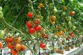 Trồng cà chua không cần đất