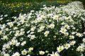 Cách trồng hoa cúc họa mi
