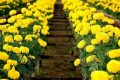 Cách trồng hoa cúc trong chậu