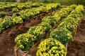 Chăm sóc hoa cúc tết