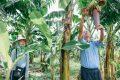 Hướng dẫn trồng chuối tây