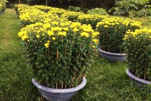 Kỹ thuật trồng hoa cúc đại đóa