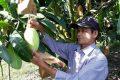 Kỹ thuật trồng xoài thái lan