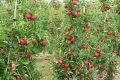 Cách trồng cây táo tây