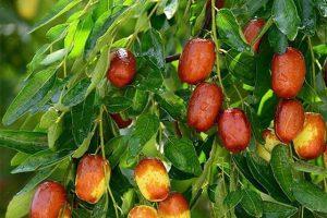Cây táo tàu trồng ở Việt Nam