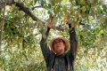 Kỹ thuật trồng cây táo