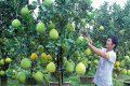 Trồng cây ăn quả trong vườn nhà
