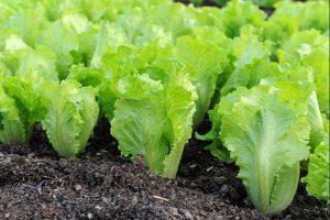 Kỹ thuật trồng rau xà lách