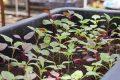 Cách trồng rau dền đỏ