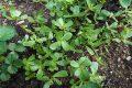 Cách trồng rau sam