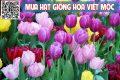 Cách trồng hoa tulip tại Việt Nam