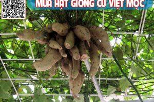 Cách trồng khoai lang trên giàn