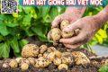 Cách trồng khoai tây trong thùng xốp