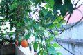 Cách trồng gấc trong chậu