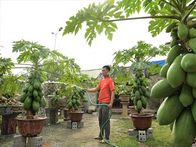 Chăm sóc đu đủ trồng trong chậu