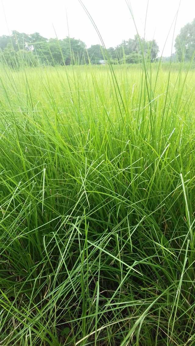 Bệnh lúa von trên đồng ruộng