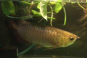 Cách trồng cây trầu bà trong bể cá