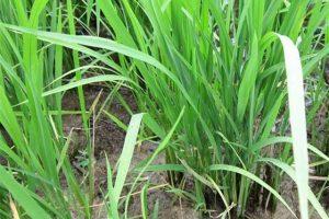 Lúa làm đòng là gì