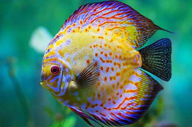 Cá dĩa - cá cảnh đẹp dễ nuôi