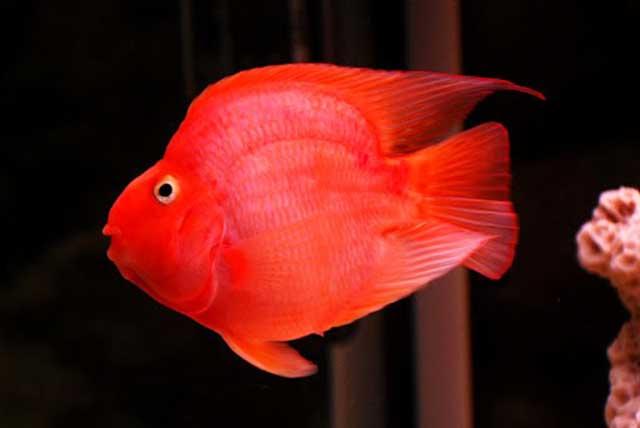 Cá hồng két - các loài cá cảnh nhỏ rẻ tiền