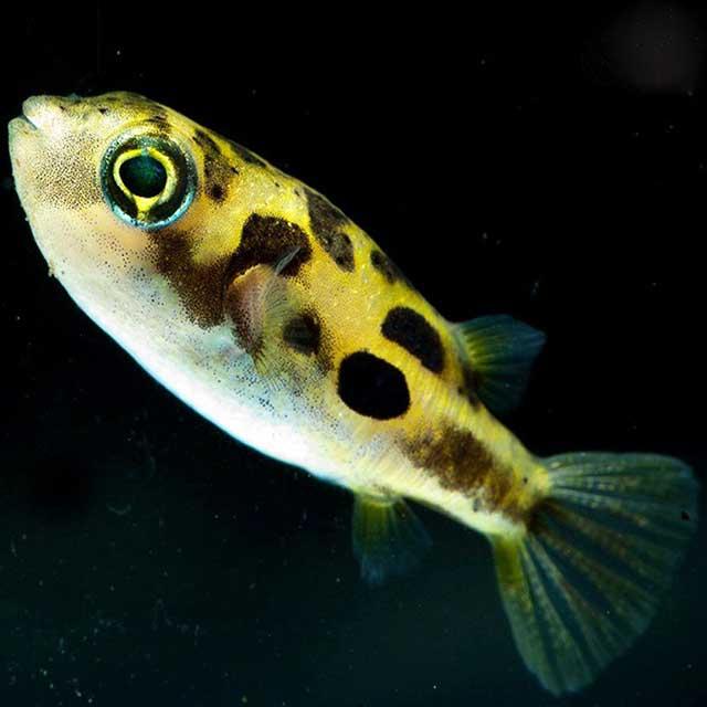 Cá nóc da beo - cá cảnh nhỏ dễ nuôi