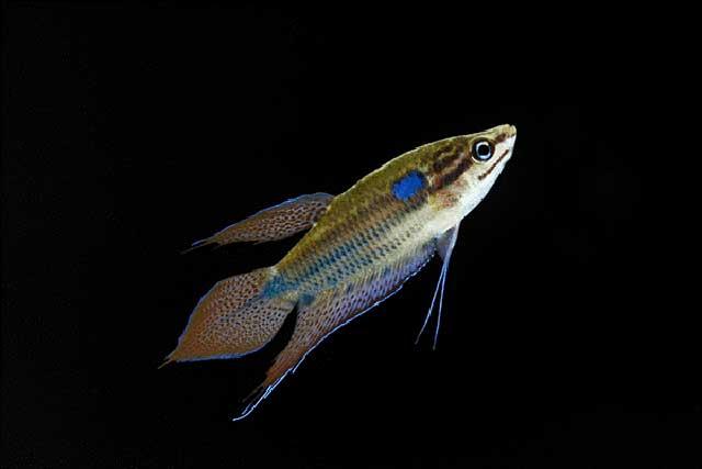 Cá thanh ngọc - cá cảnh nhỏ