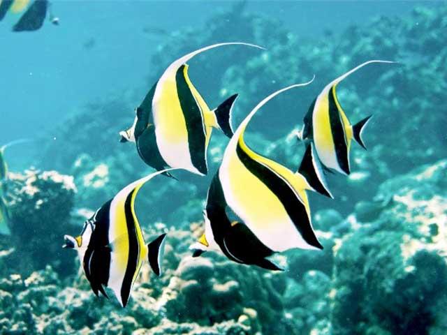 Cá thù lù - Các loại cá cảnh đẹp nhất