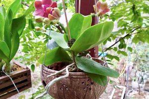 Phân loại chậu trồng hoa lan hồ điệp