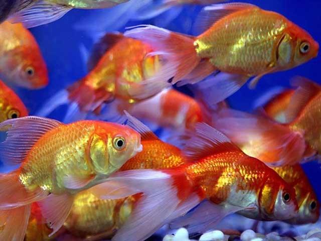 Cá chép cảnh