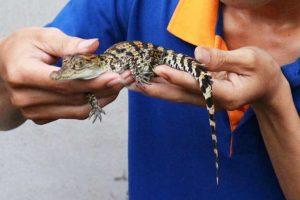 Kỹ thuật nuôi cá sấu cảnh