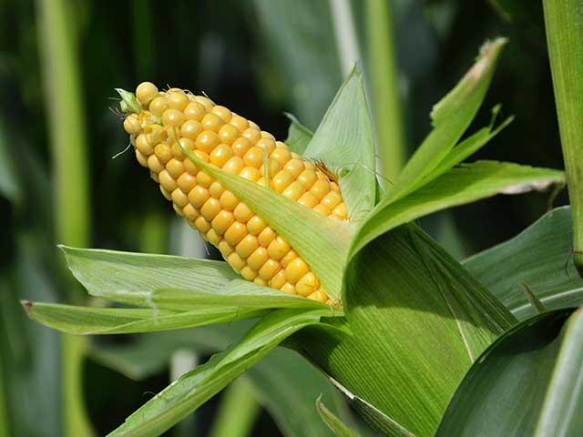 Ngô ngọt - cây nông nghiệp ngắn ngày giá trị cao