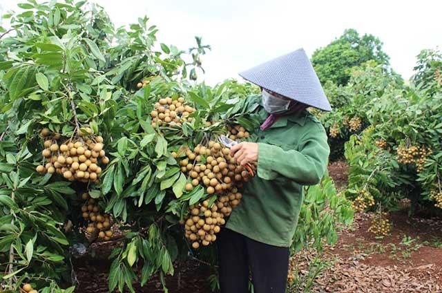 Nhãn - các loại cây ăn trái dễ trồng